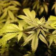 Ziekenhuis experimenteert met cannabispil voor dementerenden